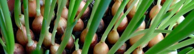Агротехника выращивания лука