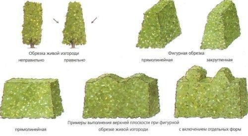Варианты обрезки живой изгороди
