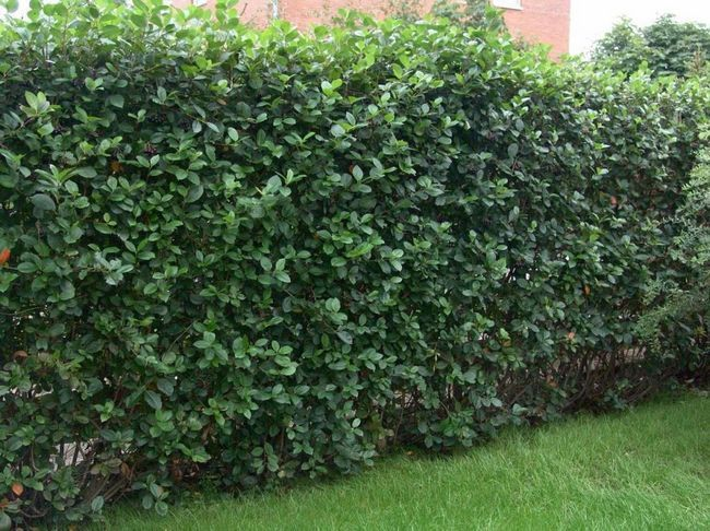 Hedge de chokeberry