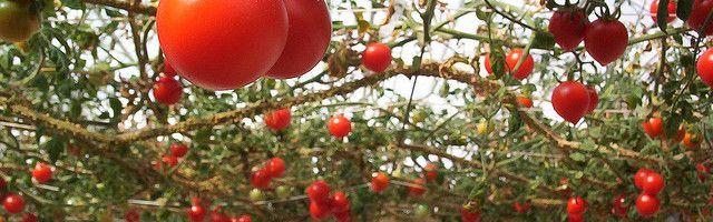 Cum să transplant de răsaduri de tomate într-o seră?