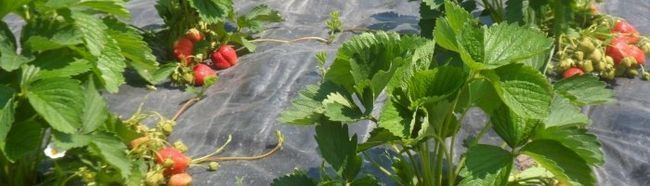 Cum să pregătească un pat germinativ pentru plantarea de căpșuni?