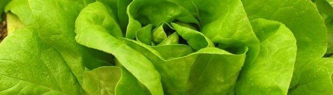 Как выращивать листовой салат