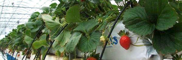 Как зимой вырастить клубнику