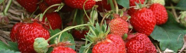 Клубника: сорта и выращивание в открытом грунте и теплице