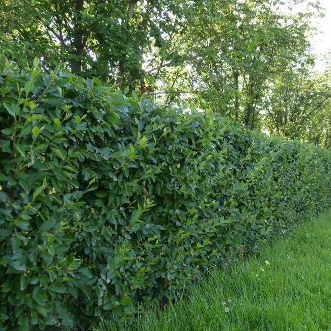 Cel mai frapant Cotoneaster decorativ pentru perioada fructoase sale.