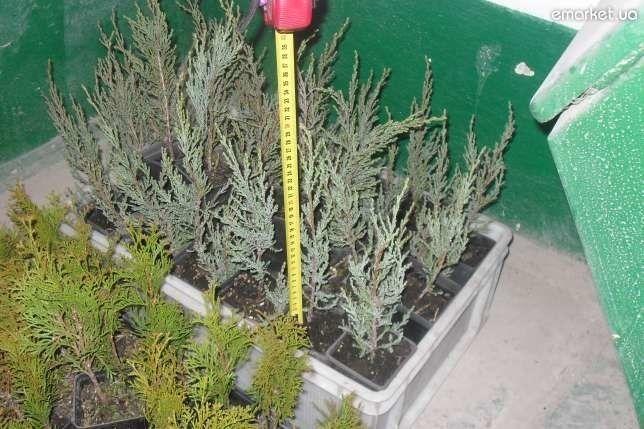 Plante tinere de conifere.