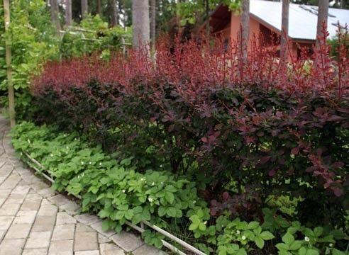 Hedge de dracilă.