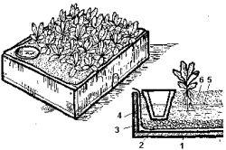 Cultivarea Verbena