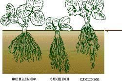 Cultivarea plantelor de căpșun de lichidare