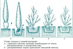 plantarea de garduri vii Scheme
